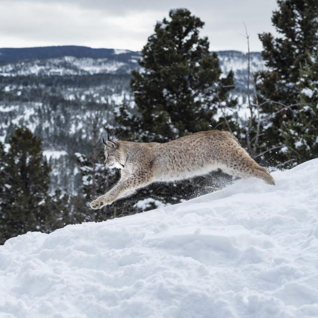 """Siberian lynx (Iberian lynx) (Lynx lynx), Montana, United States of America,..."" stock image"