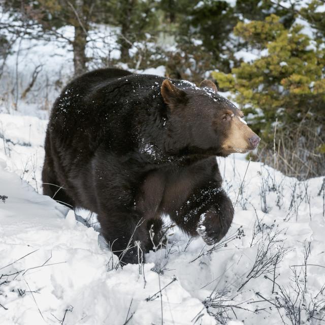 """Black bear (Ursus Americanus), Montana, United States of America, North America"" stock image"