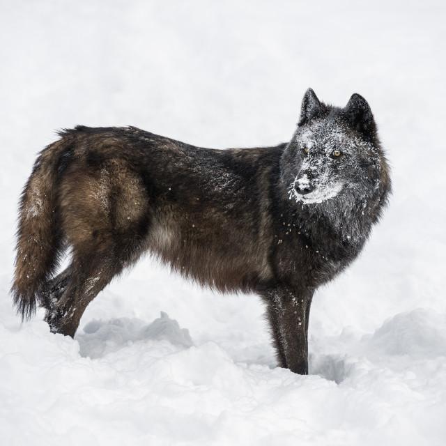 """Black fox (Vulpes vulpes), Montana, United States of America, North America"" stock image"