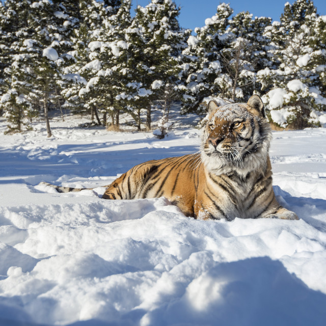 """Siberian Tiger (Panthera tigris altaica), Montana, United States of America,..."" stock image"