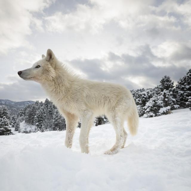 """Arctic wolf (Canis lupus arctos), Montana, United States of America, North..."" stock image"