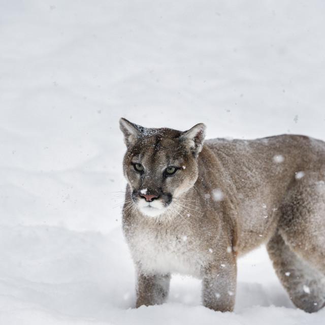 """Mountain lion (puma) (cougar) (Puma concolor), Montana, United States of..."" stock image"
