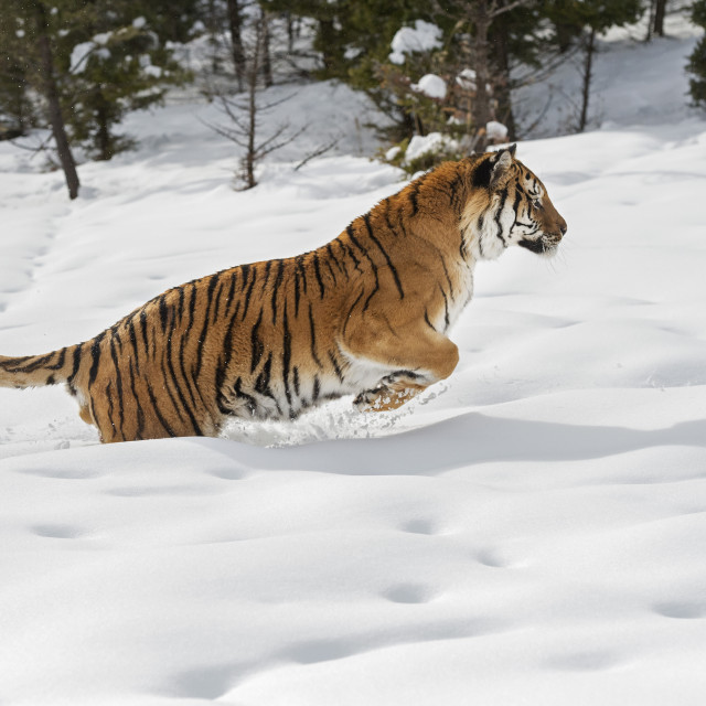 """Siberian Tiger (Panthera tigris altaica), Montana, United States of America,..."" stock image"