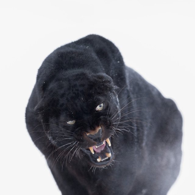 """Black panther (black leopard) (Panthera onca), Montana, United States of..."" stock image"