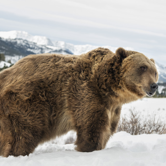 """""""Brown bear (grizzly) (Ursus arctos), Montana, United States of America, North..."""" stock image"""