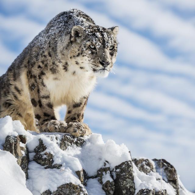 """Snow leopard (Panthera india), Montana, United States of America, North America"" stock image"