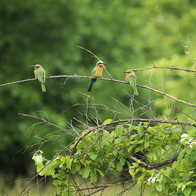"""White-fronted bee-eater (Merops bullockoides), South Luangwa National Park,..."" stock image"
