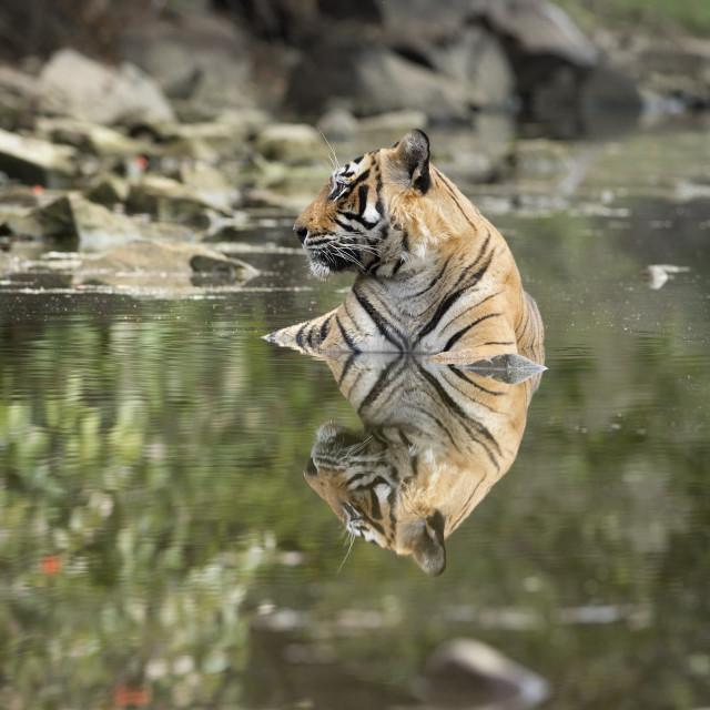 """Ustaad, T24, Royal Bengal tiger (Tigris tigris), Ranthambhore, Rajasthan,..."" stock image"