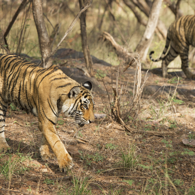 """Royal Bengal tiger (Tigris tigris) cubs, Ranthambhore, Rajasthan, India, Asia"" stock image"