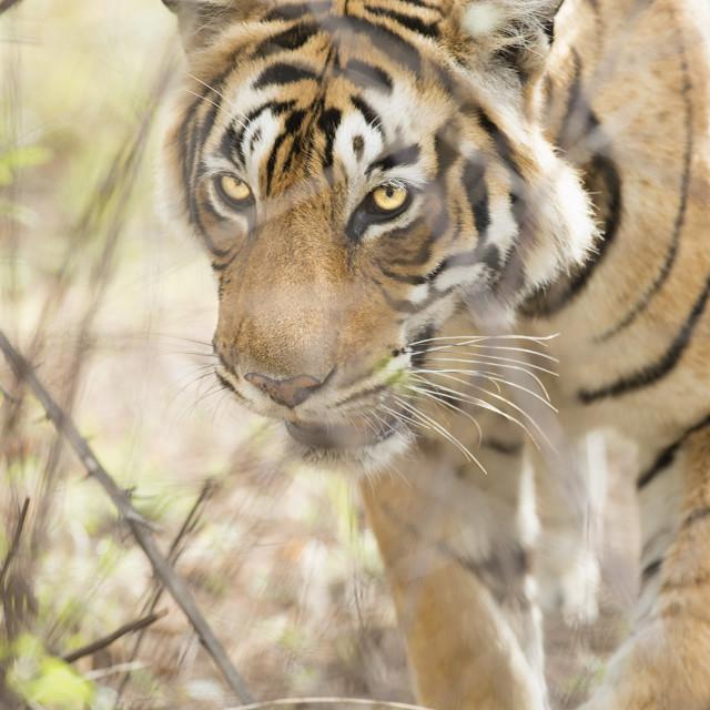 """""""Krishna, T19, Royal Bengal tiger (Tigris tigris), Ranthambhore, Rajasthan,..."""" stock image"""