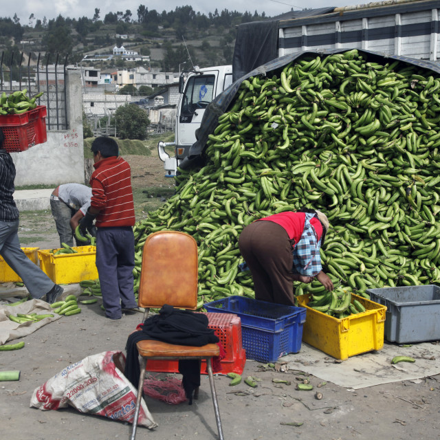 """Bananas for sale on a market day in the town of Riobamba in the highlands of..."" stock image"