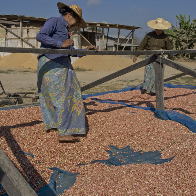 """""""Native Shan women drying peanuts in the sun in Shan state, Myanmar"""" stock image"""