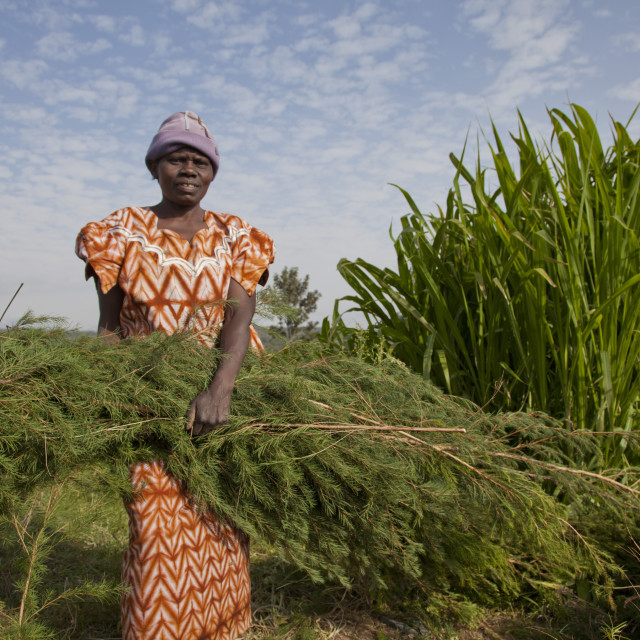 """""""Farmers harvest and process tea tree oil for sale for export as a health and..."""" stock image"""