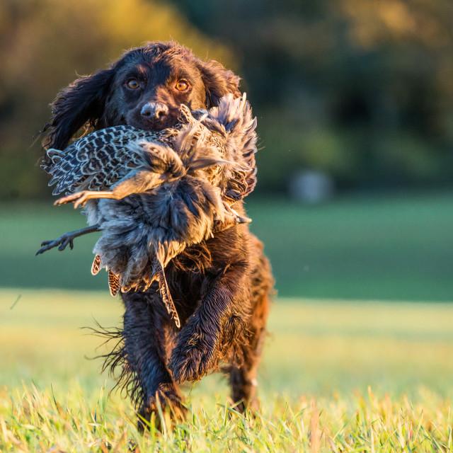 """gun dog with pheasant, Buckinghamshire,"" stock image"