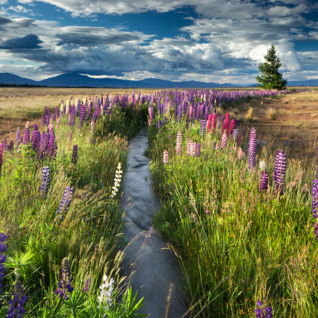 """Lupin lined stream, near Lake Tekapo, Mackenzie Country, South Island, New..."" stock image"