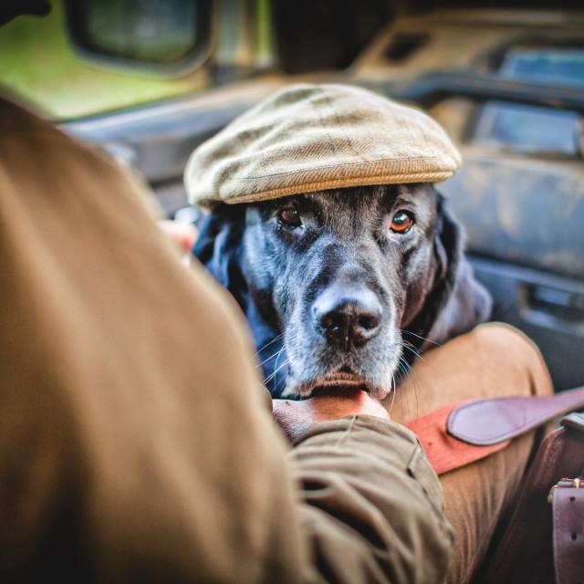 """gun dog with shooting cap, Buckinghamshire,"" stock image"