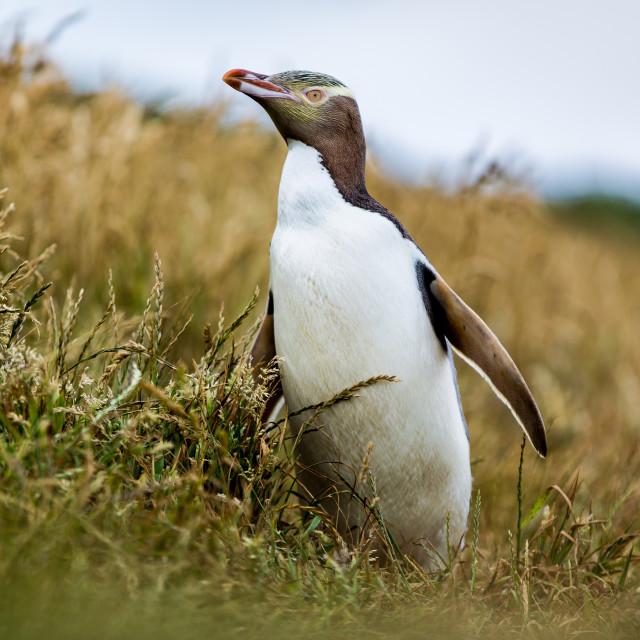 """""""Yellow-eyed Penguin, Megadyptes antipodes, Katiki Point, Moeraki Penninsula,..."""" stock image"""