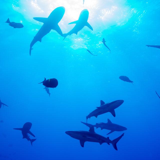 """Whitetip reef shark (Triaenodon obesus), a requiem shark in the genus..."" stock image"
