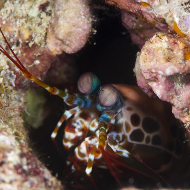 """""""Mantis shrimp (Gonodactylus sp.), a hole dwelling crustacean, Queensland,..."""" stock image"""
