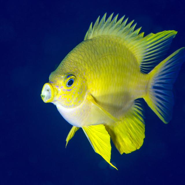 """Golden damselfish (Amblyglyphidodon aureus) a zoo plankton feeding coral reef..."" stock image"