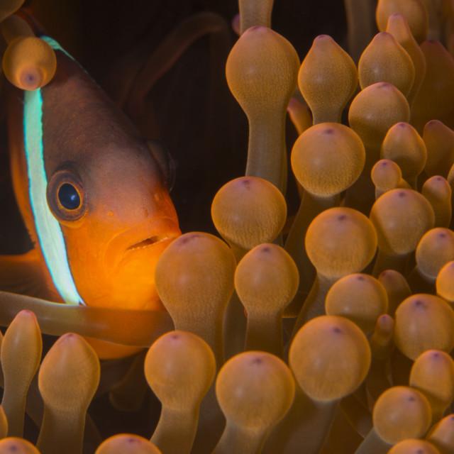 """Dusky anenomefish (Amphiprion melanomas) dominant female, lives in symbiotic..."" stock image"