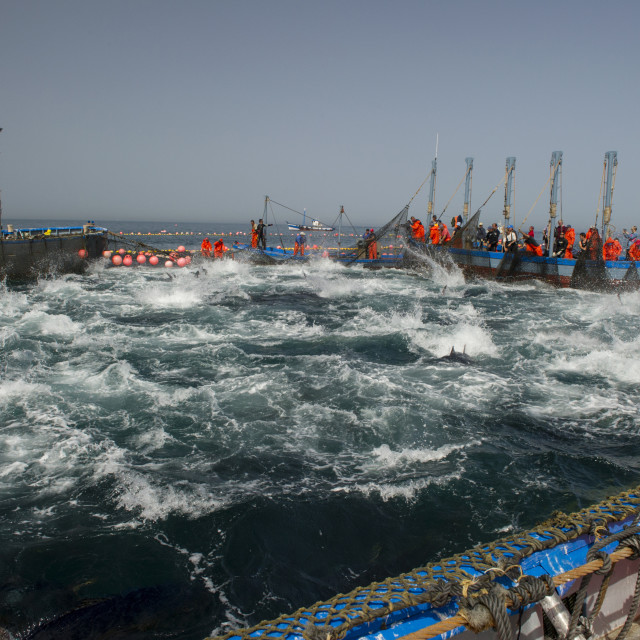 """Almadraba Atlantic bluefin tuna fishery is a maze of nets that the tuna..."" stock image"
