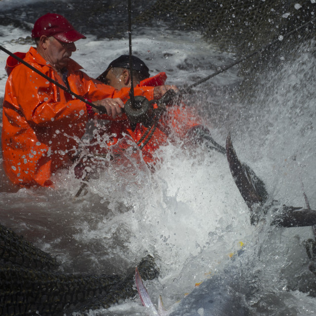 """""""Fishermen in nets at the ALmadraba tuna fishery rope the Bluefin tuna by the..."""" stock image"""