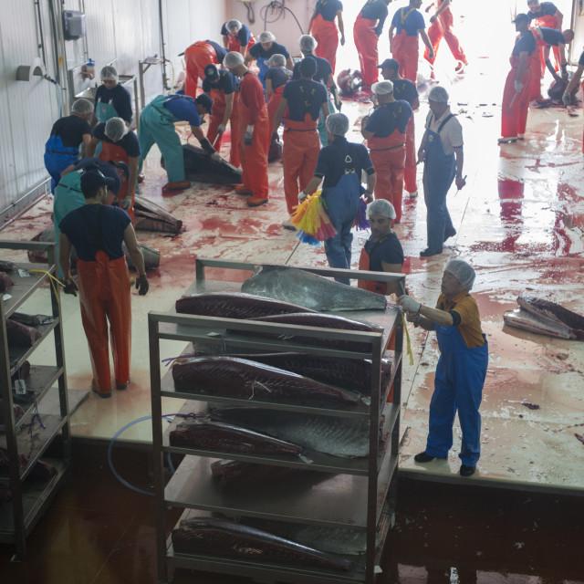 """Atlantic Bluefin tuna, Thunnus thynnus Preparation of the tuna for blast..."" stock image"