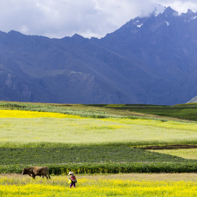 """Cultivated fields and cattle, Moho, bordering on Lake Titicaca, Peru, South..."" stock image"