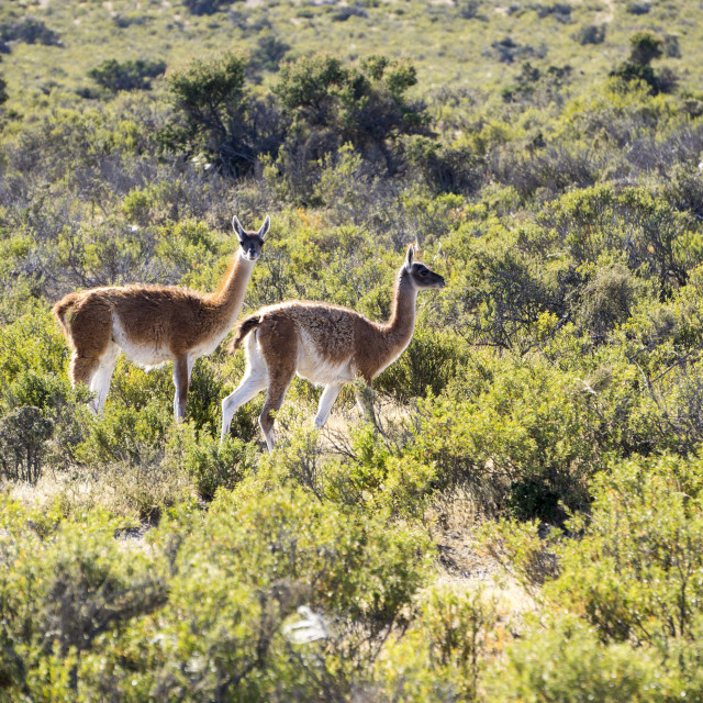 """Guanacos, Argentina, South America"" stock image"