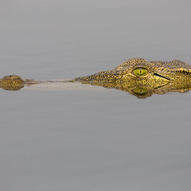 """Nile crocodile (Crocodylus niloticus) in the Chobe River, Botswana, Africa"" stock image"