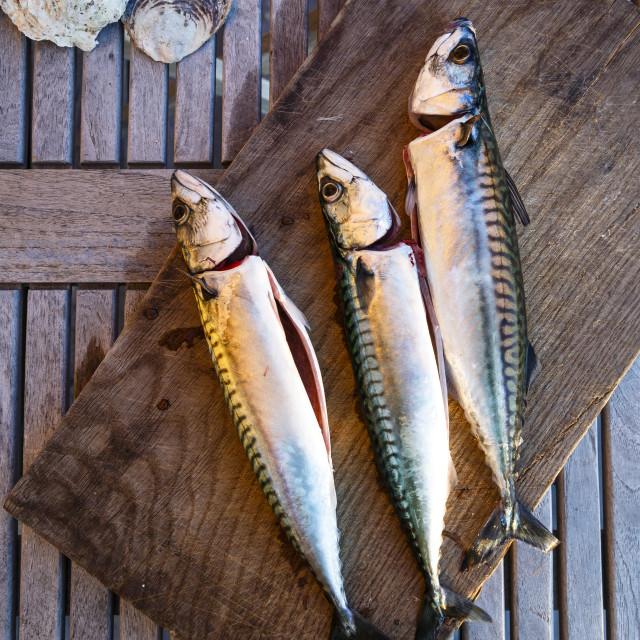"""Mackerel fish, Grebbestad, Bohuslan region, west coast, Sweden, Scandinavia,..."" stock image"