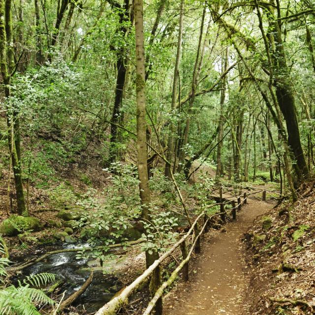"""""""Laurel forest, Parque Nacional de Garajonay, La Gomera, Canary Islands,..."""" stock image"""