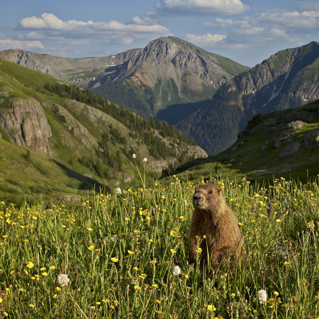 """Yellow-bellied marmot (yellowbelly marmot) (Marmota flaviventris) in its..."" stock image"