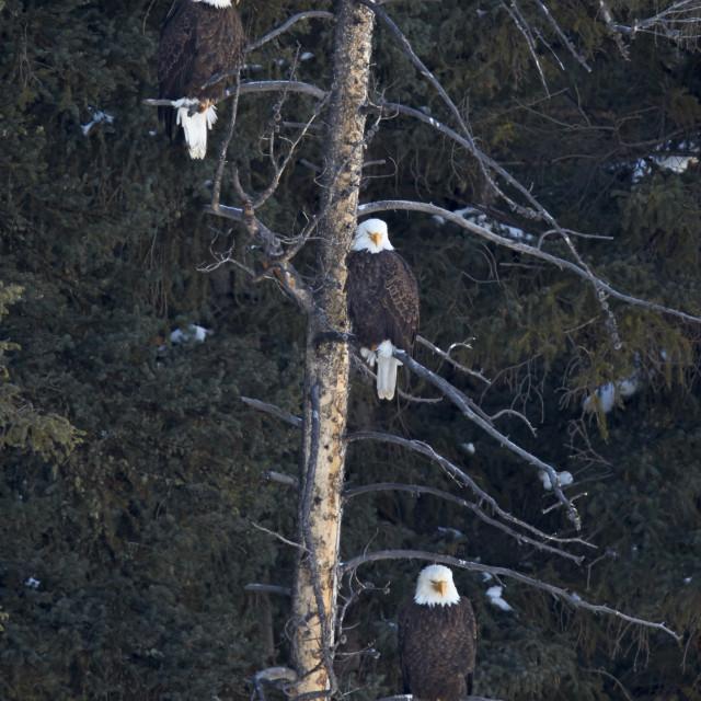 """Three bald eagle (Haliaeetus leucocephalus) in an evergreen tree, Yellowstone..."" stock image"