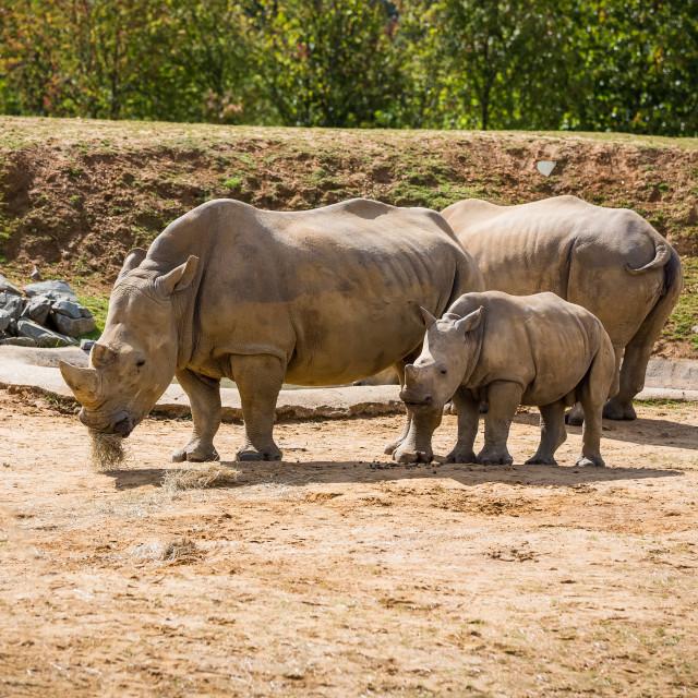 """Family of rhino"" stock image"