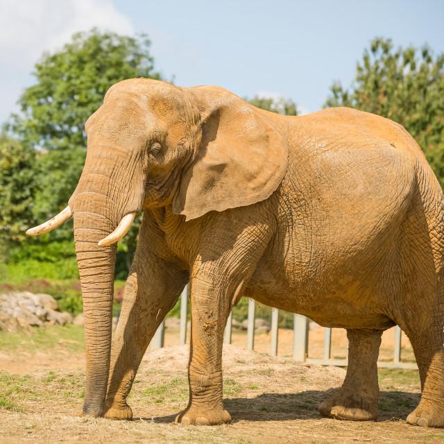 """Bull Elephant"" stock image"