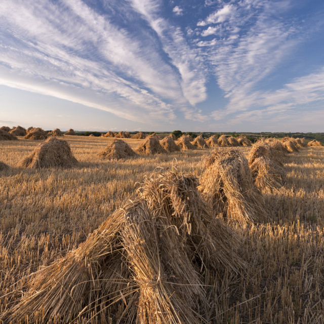 """Corn stooks harvested for thatching purposes, Devon, England, United Kingdom,..."" stock image"