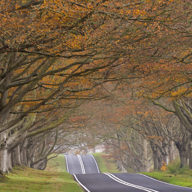 """Country road passing through a tunnel of colourful autumnal beech trees,..."" stock image"