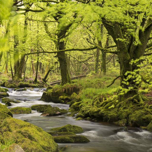 """River Fowey running through verdant spring woodland at Golitha Falls on..."" stock image"