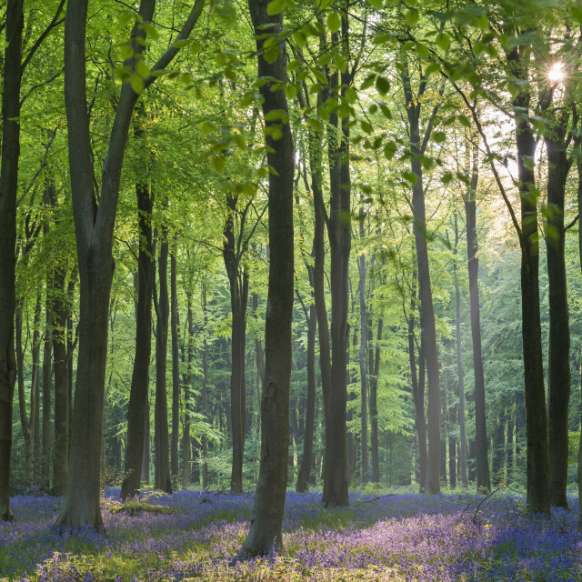 """""""Carpet of flowering bluebells in a deciduous wood in spring, West Woods,..."""" stock image"""
