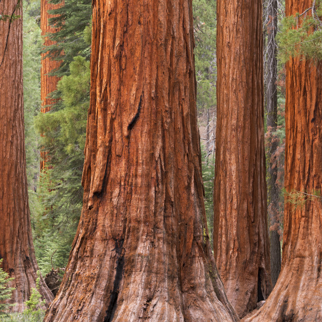 """Bachelor and Three Graces Sequoia tress in Mariposa Grove, Yosemite National..."" stock image"