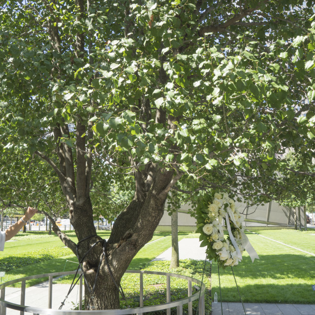 """A callery pear tree now known as the Survivor Tree, 9/11 Memorial. World..."" stock image"