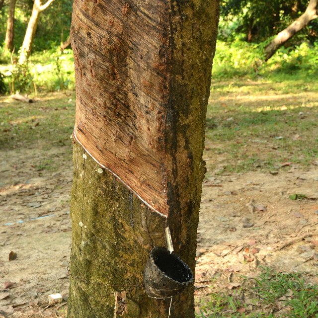"""""""Rubber tapping on Koh Mook, Thailand, Southeast Asia, Asia"""" stock image"""