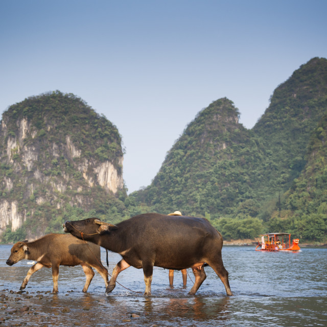"""Two cows walking in the Li River with a red boat and mountains in background,..."" stock image"