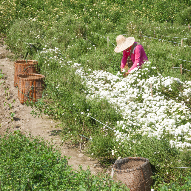 """""""Woman in pink shirt and straw hat collects chrysanthemums for tea, Huangshan,..."""" stock image"""