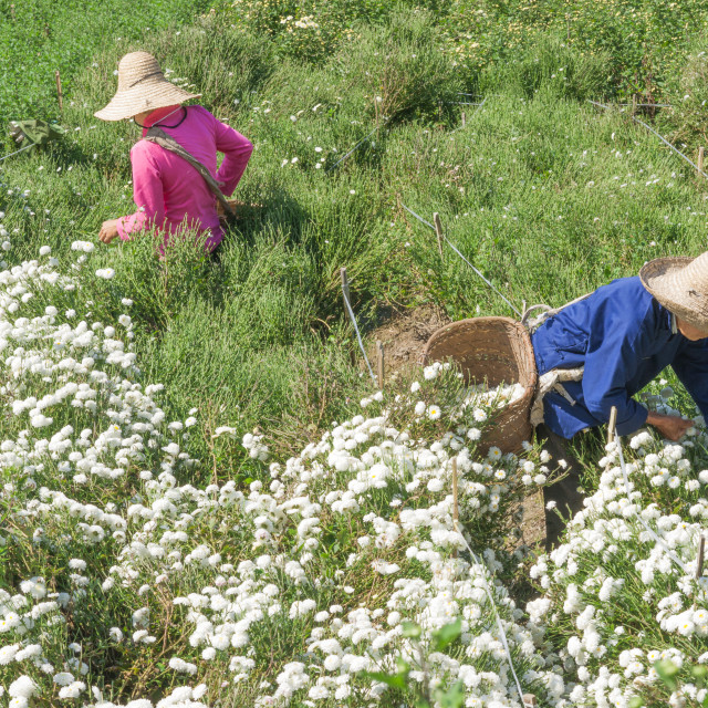 """""""Two women work together picking chrysanthemums at harvest for tea, Huangshan,..."""" stock image"""