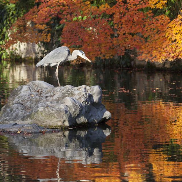 """Heron on lake in autumn, Eikan-do Temple, Northern Higashiyama, Kyoto, Japan,..."" stock image"