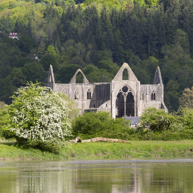 """Ruins of Tintern Abbey by the River Wye, Tintern, Wye Valley, Monmouthshire,..."" stock image"