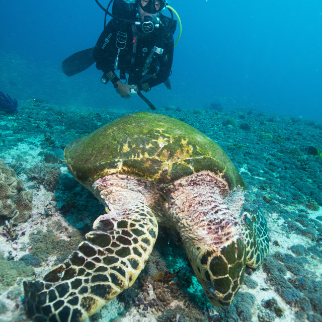 """""""Diver and Hawksbill turtle, Dimaniyat Islands, Gulf of Oman, Oman, Middle East"""" stock image"""